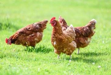 آلرژی مرغ چیست و چگونه درمان می شود؟