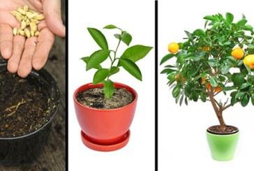آموزش کاشت درختان میوه در گلدان