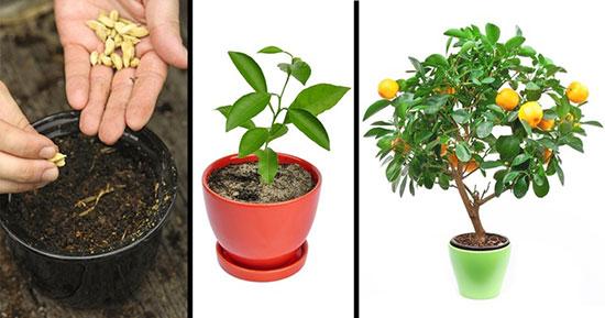 پرورش درخت میوه در گلدان