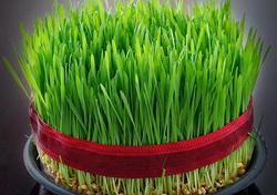 سبزه گندم عید