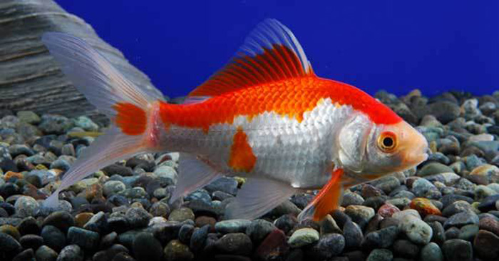 ماهی قرمز عید