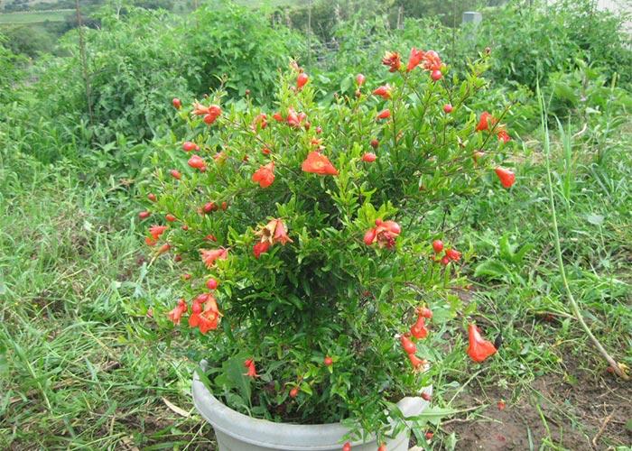 کاشت انار در گلدان