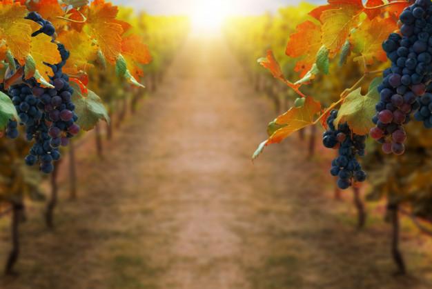 مزایای سلامتی خوردن انگور
