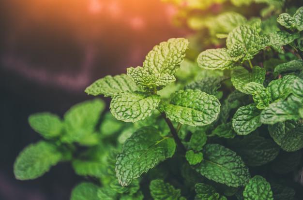 فواید گیاه نعناع
