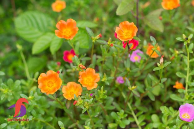 گل ناز ، گل ناز بشقابی