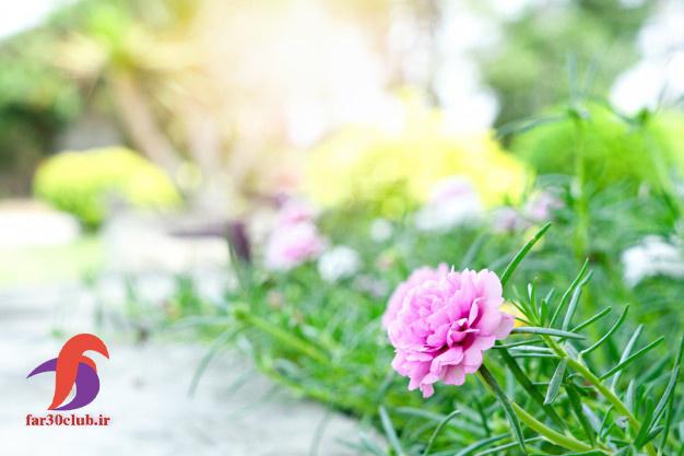 گل ناز بنفش ، گل ناز آفتابی