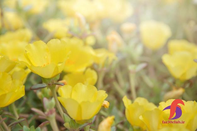 گل ناز تکثیر ، گل ناز خنجری