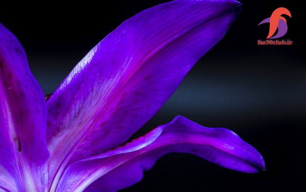 گل لیلیوم هلندی ، گل لیلیوم انواع