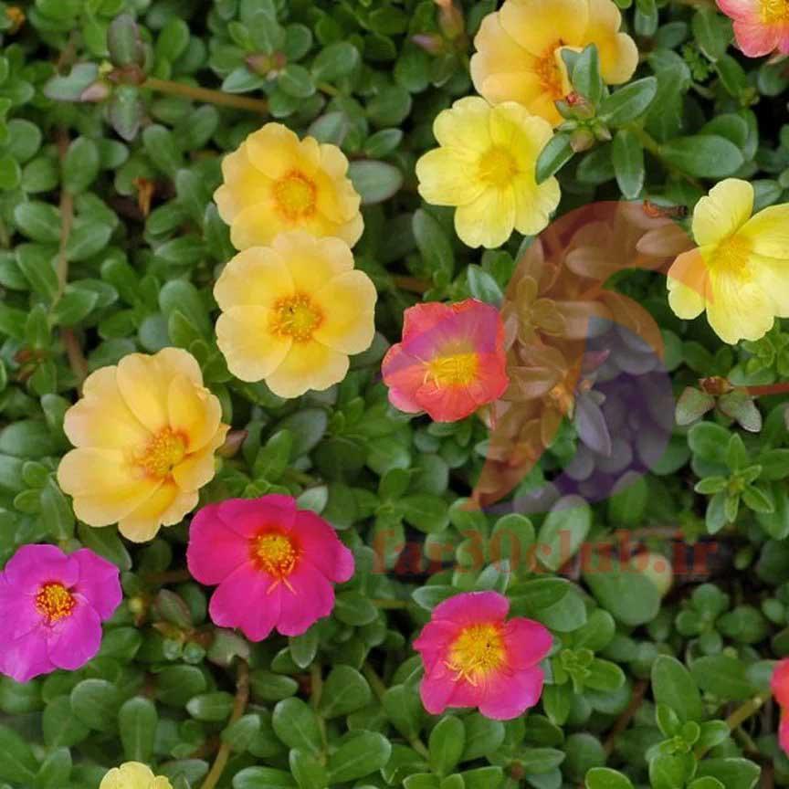 گل ناز زرد