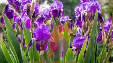 عکس گلهای بسیار زیبای جهان برای پروفایل ، عکس گل بسیار زیبا جهان
