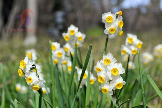 گل نرگس اپارتمانی ، گل نرگس آبی
