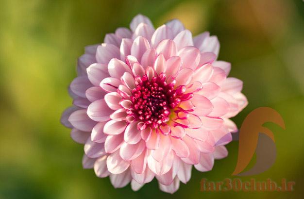 گل کوکب انواع ، گل کوکب ابلق