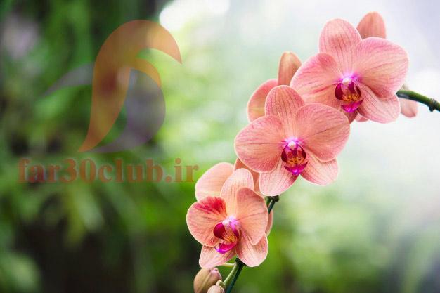 گل میمون در ایران ، گل میمون بیابانی