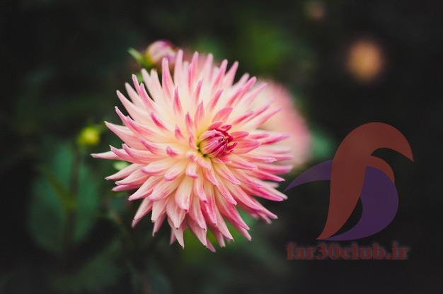 گل کوکب ایرانی ، گل کوکب اپارتمانی