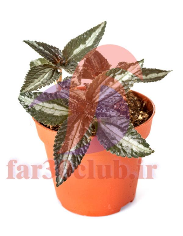 گل سنگ اردبیل ، گیاه گل سنگ