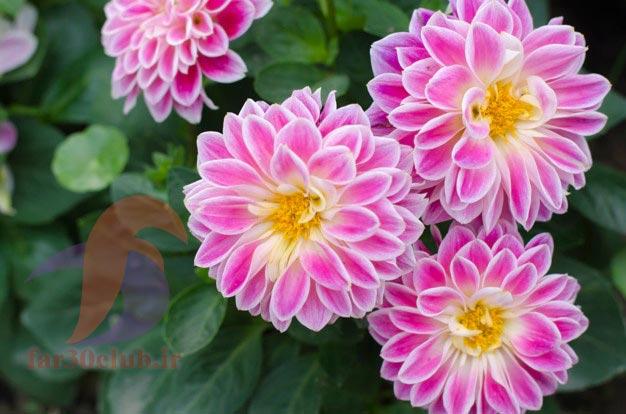گل کوکب الوان ، گل کوکب کوهی