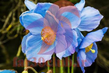 عکس گلهای بسیار زیبای جهان ایرانی ، عکس گلهای بسیار زیبای جهان اروپایی