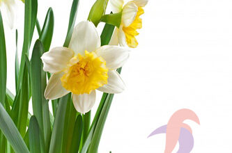 گل نرگس نماد چیست ، گل نرگس هلندی