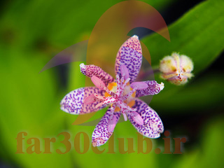 عکس گلهای بسیار زیبای جهان ژاپنی ، عکس گلهای بسیار زیبای جهان هلند