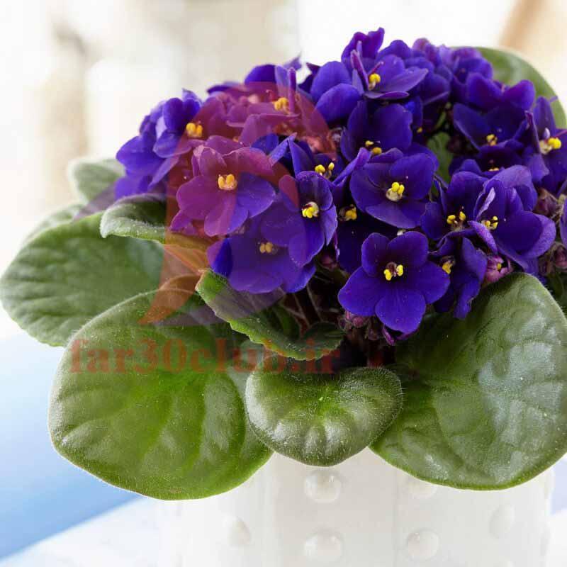 گل بنفشه بهاری