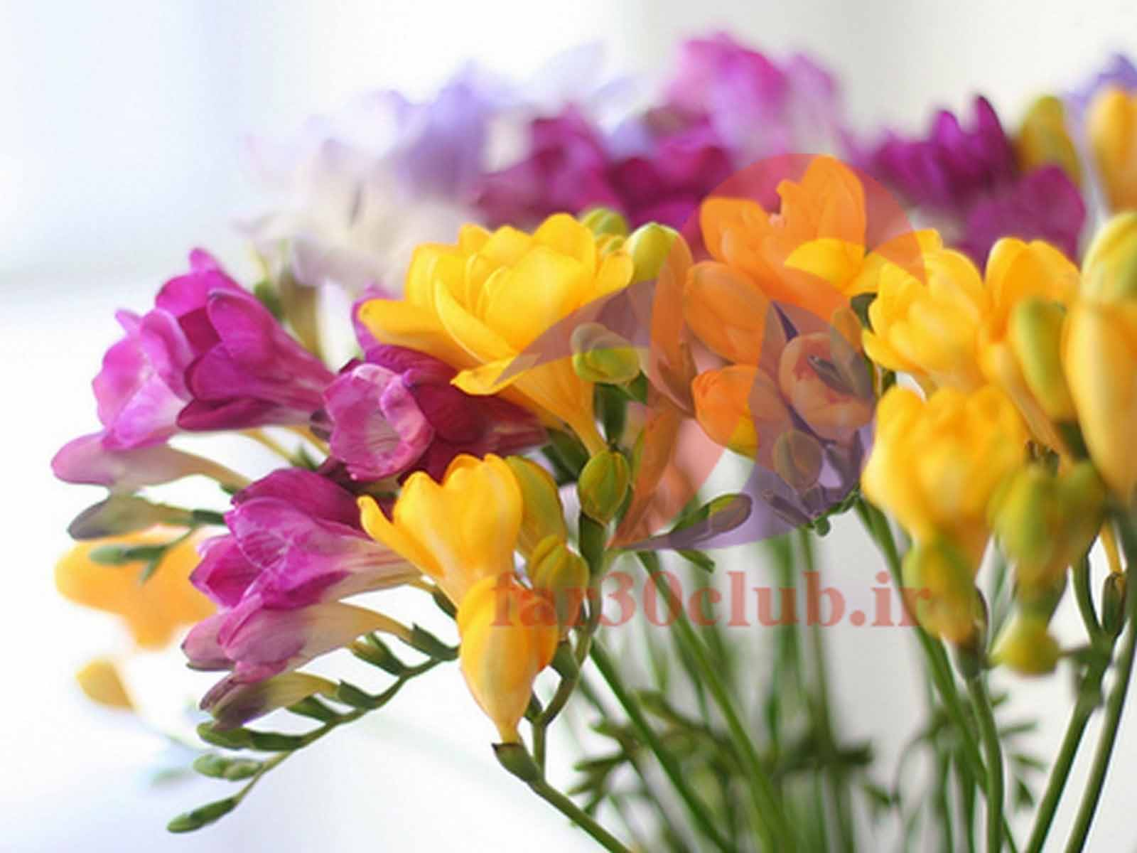 گل کاغذی زرد