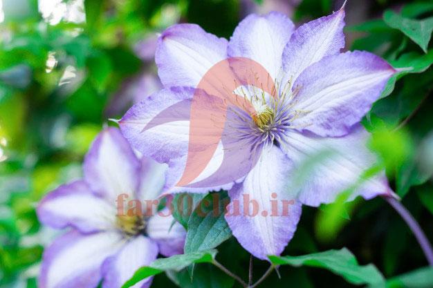 گل بنفشه ایرانی ، گل بنفشه آمریکایی