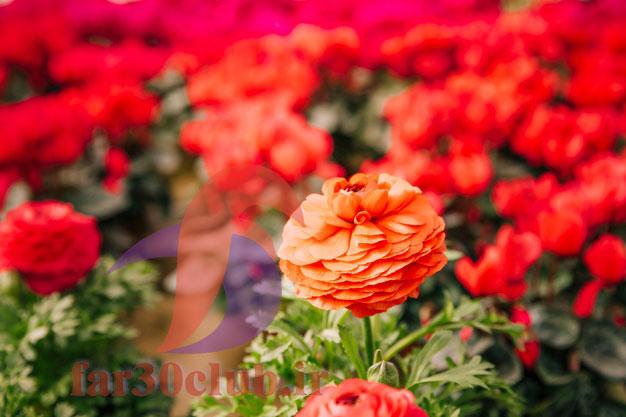 گل همیشه بهار اپارتمانی ، گل همیشه بهار ایران