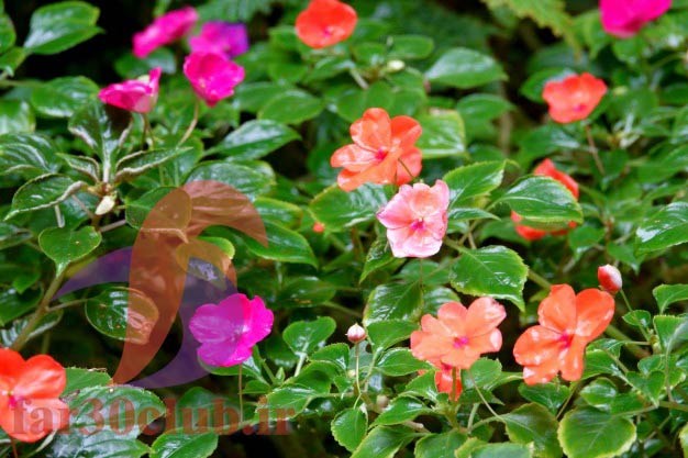 گل بنفشه نماد چیست ، گل بنفشه جنگلی