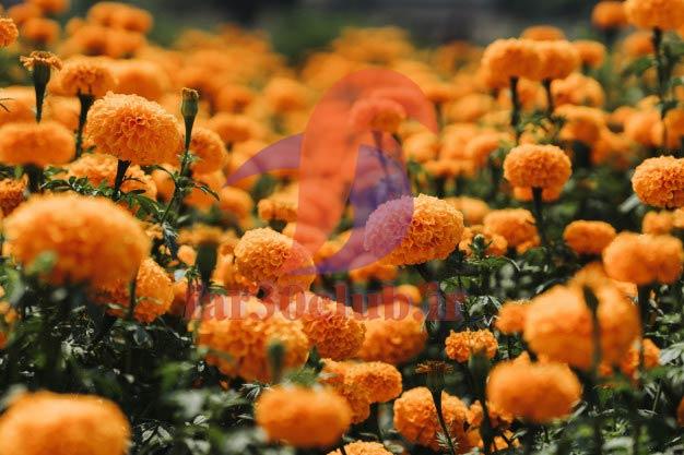 گل همیشه بهار آریان ، گل همیشه بهار اهنگ