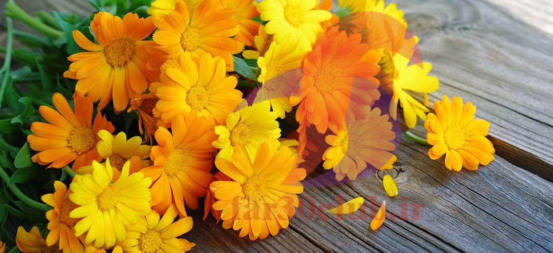 گل همیشه بهار1