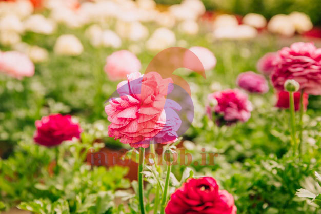 گل همیشه بهار برای کیست ، گل همیشه بهار در جدول
