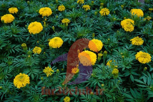 گل همیشه بهار برای کیست تخمدان ، گل همیشه بهار برای عفونت رحم